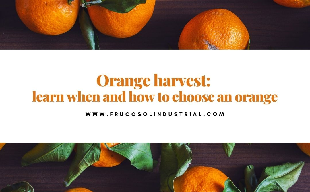 Orange harvest: learn when and how to choose an orange.